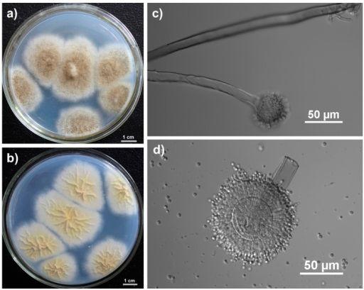 Aspergillus tubingensis